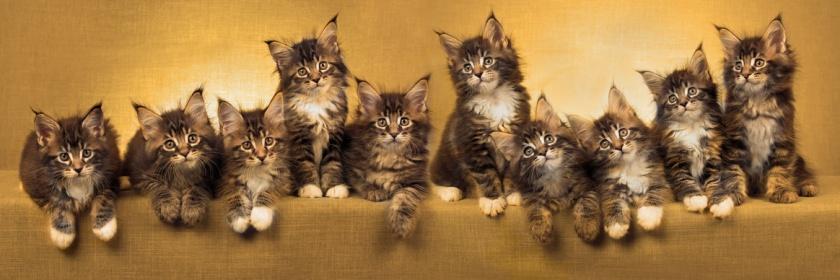 be maine coon elevage de chats maine coon en belgique. Black Bedroom Furniture Sets. Home Design Ideas